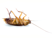dead.cockroach_ve9a