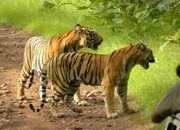 Tiger In Tadoba1